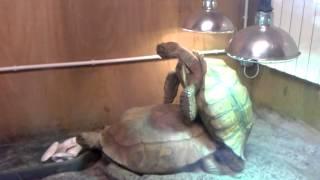 Turtles having sex