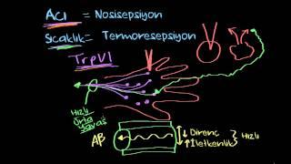 Acı ve Sıcaklık (Sağlık ve Tıp) (Sinir Sistemi Fizyolojisi) (Psikoloji / Çevreyi Algılama)