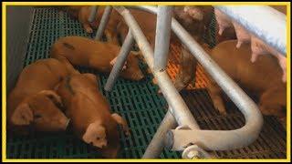 Выращивание свиней / Как выбрать породу / Как правильно сделать маточник