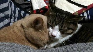ただ仲良く寝る♀猫こむぎ&♂猫だいずの動画に思いでぽん『うちのかぞく...