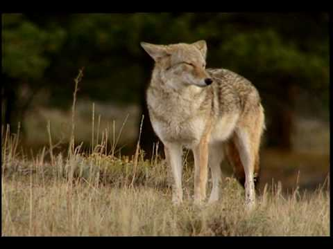 Coyote national park animals for kids