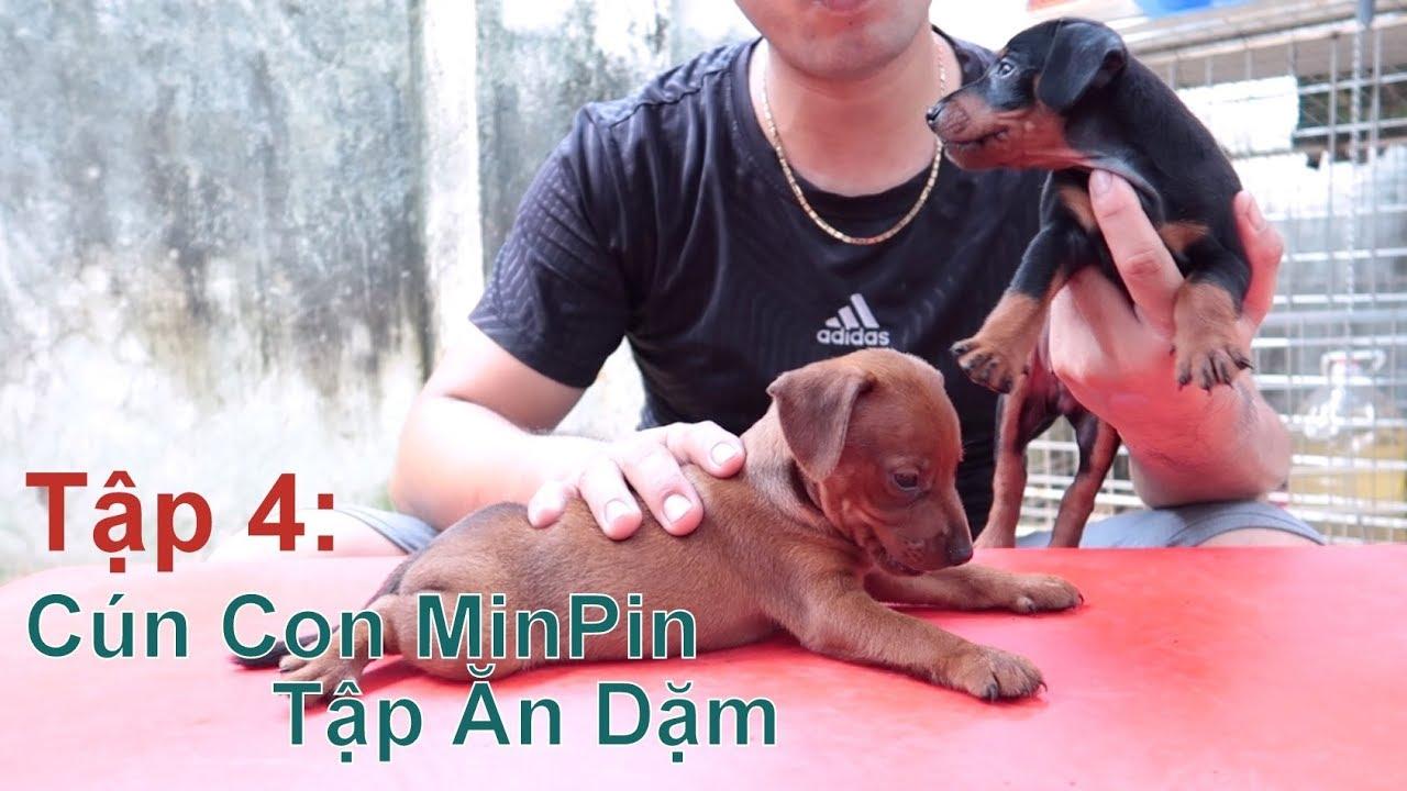 T4: Cún MinPin 38 Ngày Tuổi tập Ăn Dặm như thế nào/ Miniature Pinscher/ NhamTuatTV - Dog in Vietnam