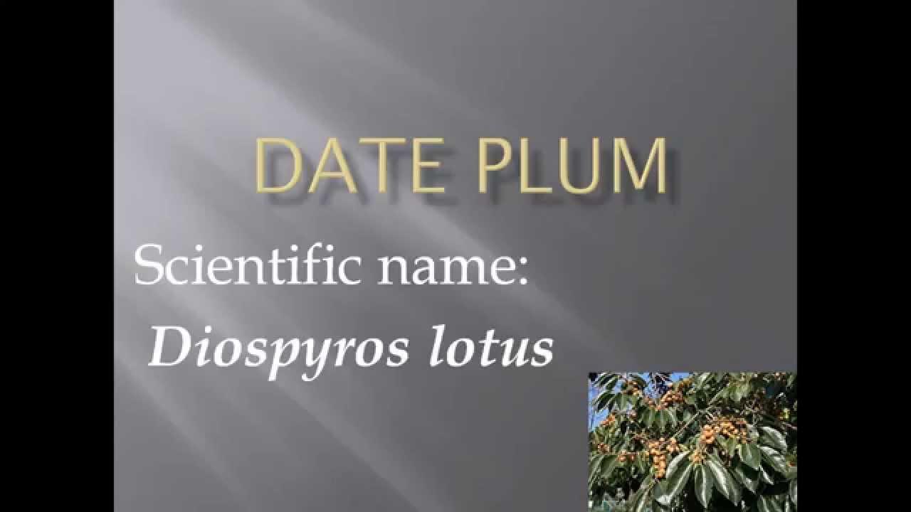 Pronunciation Picture And Scientific Name Of Fruit Date Plum