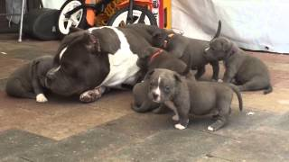 American Bully Dog Gets Swarmed by Puppies