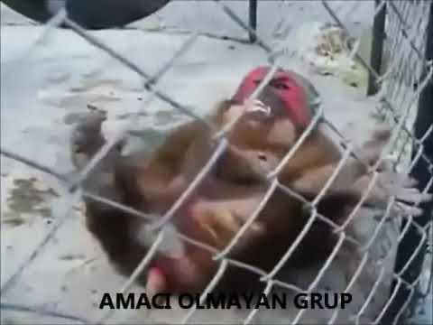 AOG 31 çeken Maymun #2