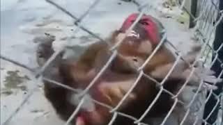 AOG 31 çeken maymun 2