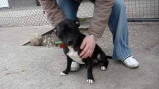 Lucy - Staffordshire Bull Terrier Avaliable For Adoption
