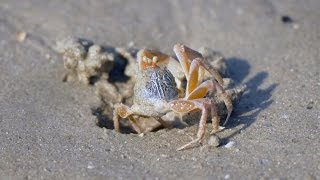 Sand Bubbler Crab or Soldier Crab (Dotilla myctiroides) [3]