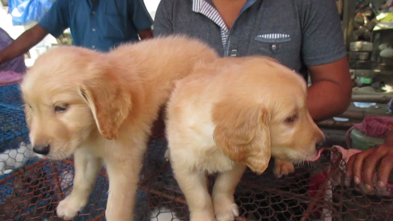 Golden Retriever Fact Two Golden Retriever Puppy At Galiff Street