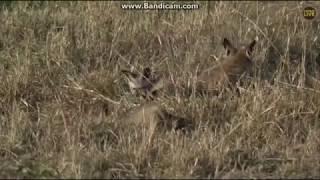 ~Zwierzęta Afryki : SZAKALE - samica z młodymi i SŁONIE ~ Safari  15/11/2018
