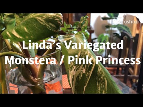 TWO RARE PLANTS, I got my Variegated Monstera and a  Philodenron  Pink Princess!!!Plant Haul!