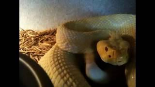 Albino Eastern Diamondback Rattlesnake