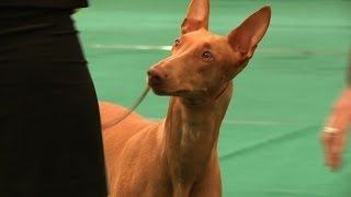 WELKS Championship Dog Show 2014 - Hound group