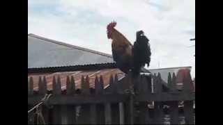 Single Terbaru -  Ayam Ketawa Dangdut Koplo