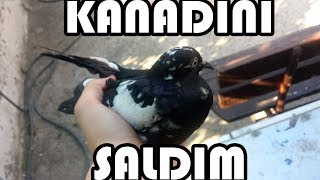 Güvercin Uçurma Yakaladığım Güvercinin Kanadını Saldım