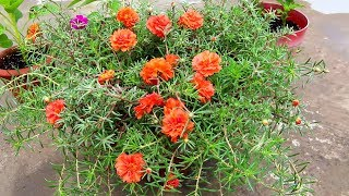 Gamalon mein portulaca (Gul Dopheri) flowers| Growing and care -Urdu/Hindi