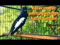 Burung Kacer Gacor Ngeplong Cocok Buat Pancingan Kacer Macet Malas Bunyi Jadi Gacor  Mp3 - Mp4 Download