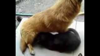Кошка сосет молоко у собаки!!!!!!!! смотреть всем!!!!