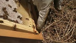 Naturally Infused Honey & The Effects of Cannabis on Bees