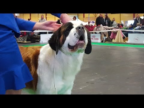 Сенбернар (ч.2/3), выставка собак ZooExpo 2016. Saint Bernard, Baltic Winner 2016 FCI CACIB Dog Show