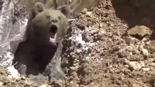 Video Operai scavano una buca e da sotto terra spunta un orso molto arrabbiato download MP3, 3GP, MP4, WEBM, AVI, FLV November 2017