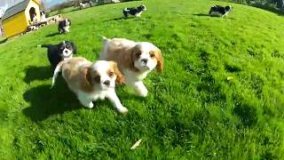 Cavalier King Charles Spaniel Puppies Playing