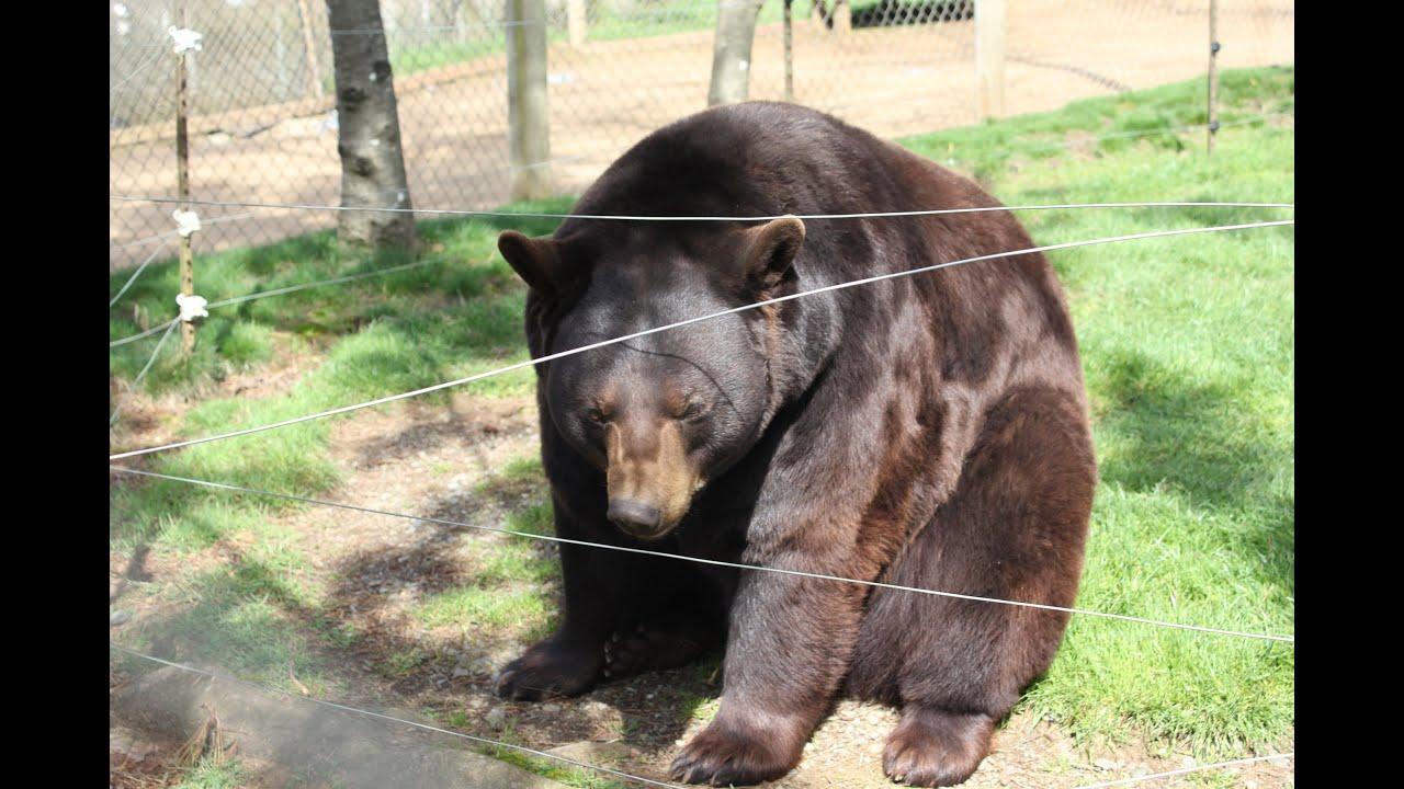 black-chubby-bears-sex