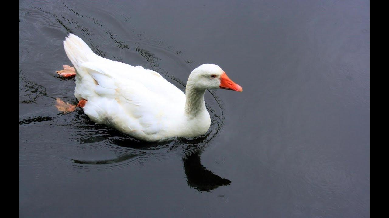 Very Cute & Beautiful White Ducks Swimming, Mumbai India ...