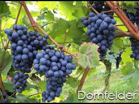 Dornfelder Grape of the day # 32