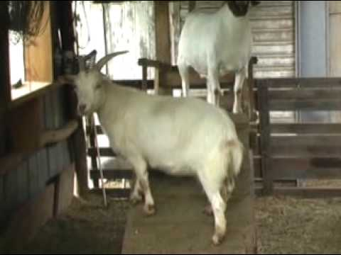 Fainting goats find a home with animal lover