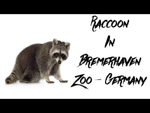 Raccoon In Bremerhaven Zoo - Germany