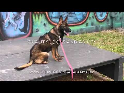 german-shepherd-for-sale---eve---family-protection-dog