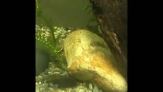 スミウキゴリの幼魚?