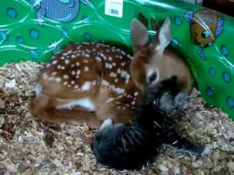 Baby Deer & Baby kitten in love!