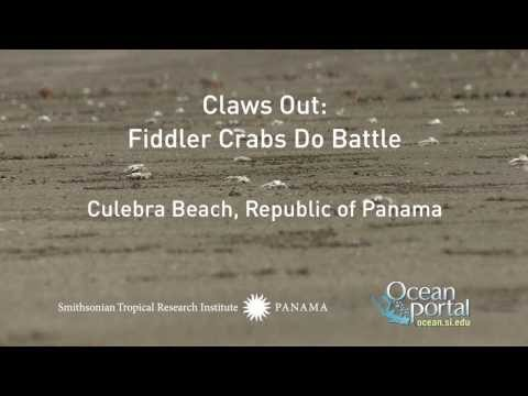 Claws Out: Fiddler Crabs Do Battle