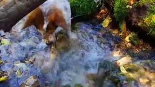 Cute Corgi Heeler Mix Attacking Water In Millcreek Canyon, Utah