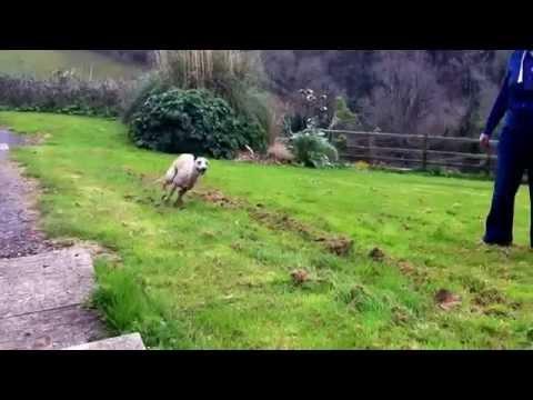 Funny Whippet running round the garden!