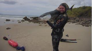 Kingies in the murk - Spearfishing Yellowtail Kingfish in New Zealand