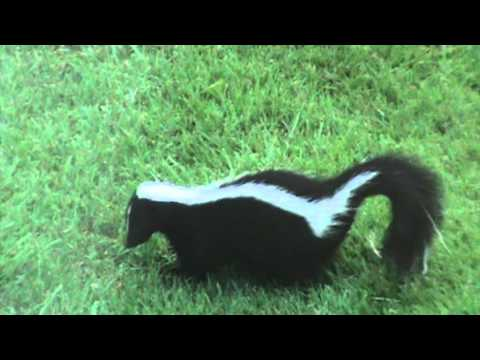Amazing SKunK In BACKYARD