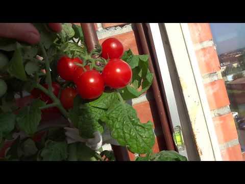 Обильный урожай! Как вырастить помидоры или томаты на балконе?
