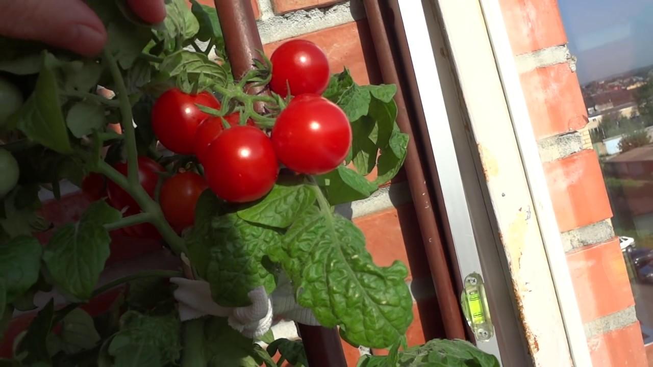 Как вырастить помидоры на лоджии.