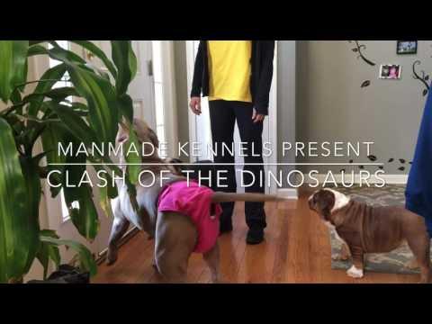 ManMade Kennels Zombie & Kovu breeding; Xl Pitbull Puppies; XL American Bullies; XL Red Nose PITBULL