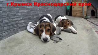 Щенки русской пегой гончей 2 месяца 20170617
