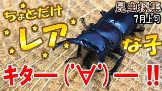 【カブトムシ+クワガタ+昆虫採集】狙ってたクワガタ採集できたぞ!(く...