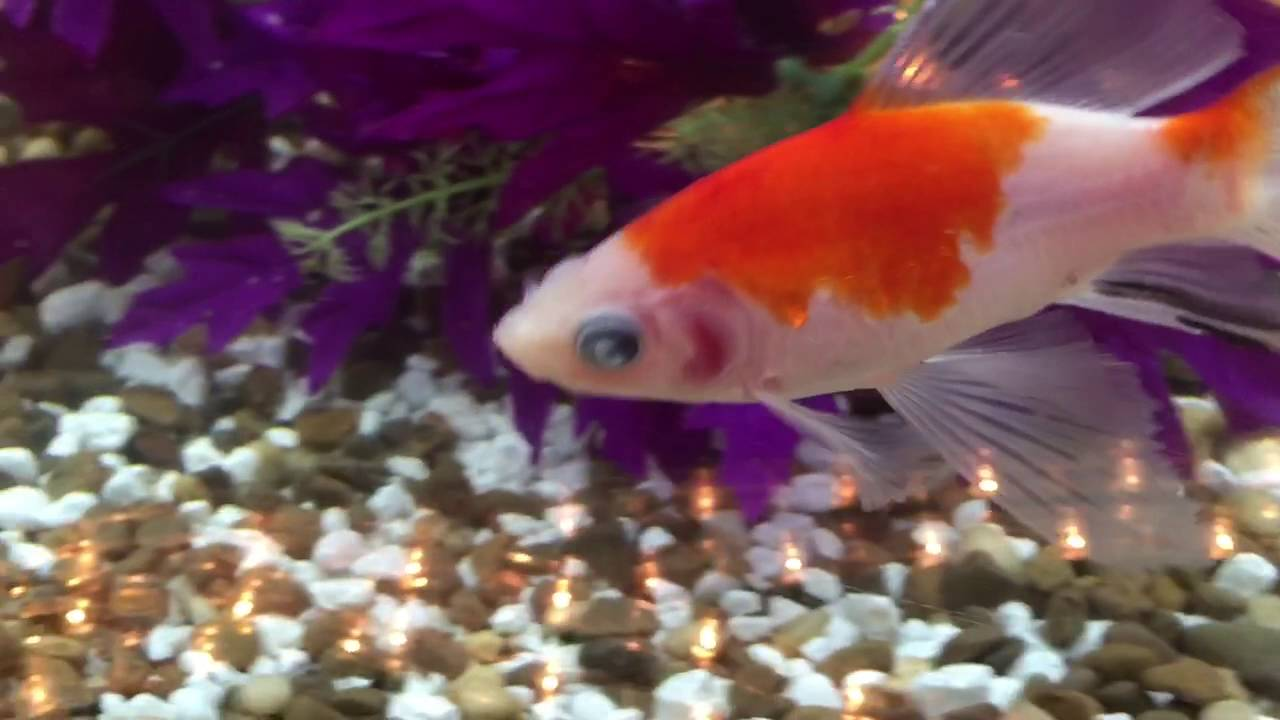 Freshwater fish cloudy eyes - 09 19 16 Trigger With Cloudy Eyes 01