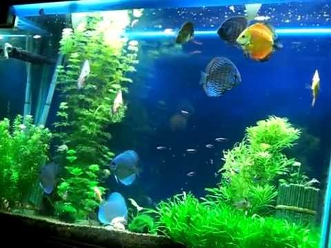 discus breeding Fresh water planted crs aquarium tropical fish tank