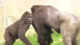 恋の駆け引き シャバーニとネネ  Love game gorilla Shabani & Nene