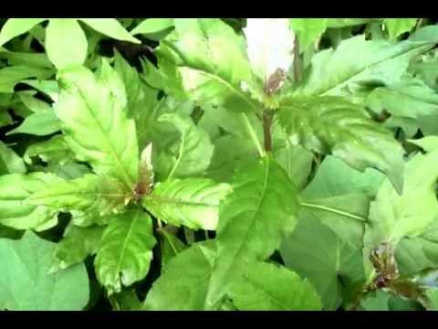 DTFG   Okinawa spinach