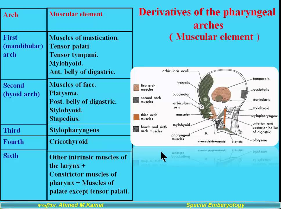 6 Derivatives of the pharyngeal arches muscular element - YouTube