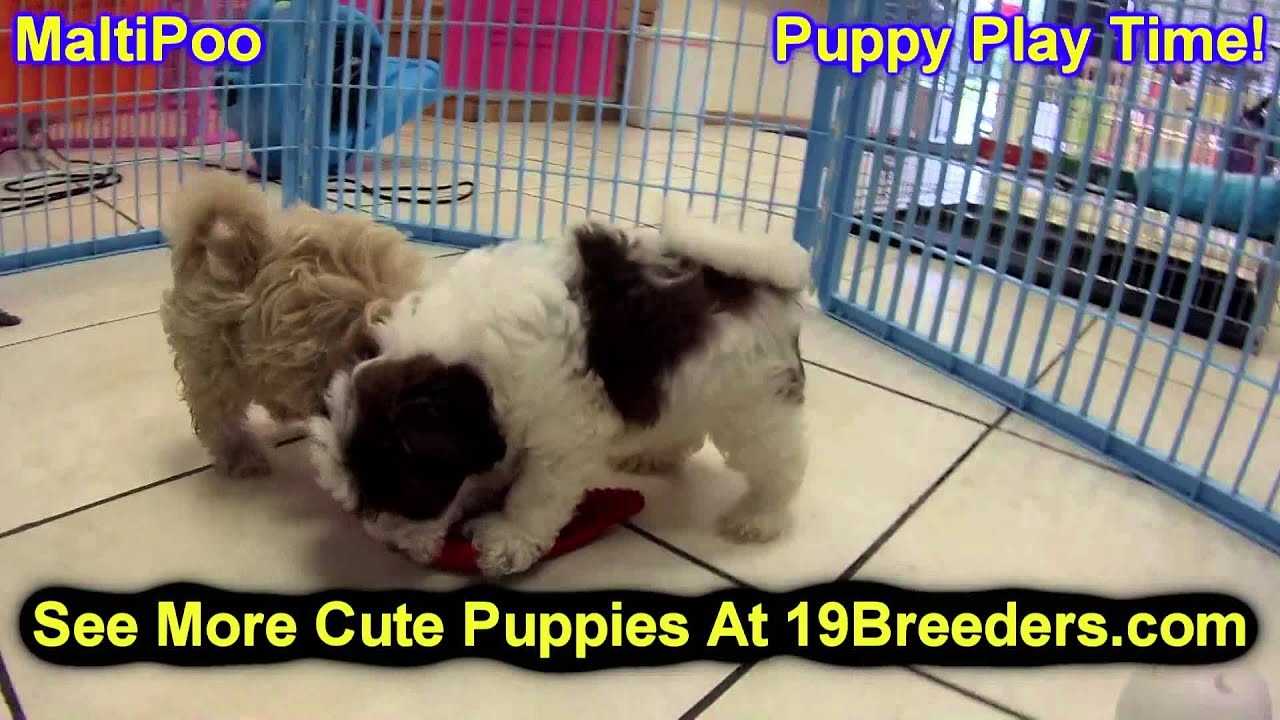 Maltipoo, Puppies, For, Sale, In, Boise City, Idaho, ID, Rexburg, Post  Falls, Lewiston, Twin Falls